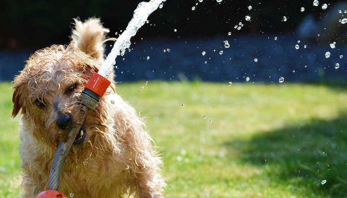comment rafraîchir un chien l'été