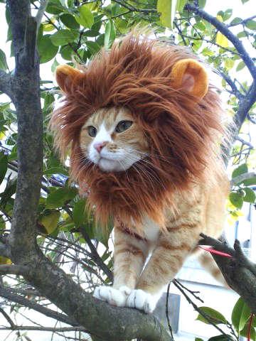 déguiser un chat en lion pour l'Halloween