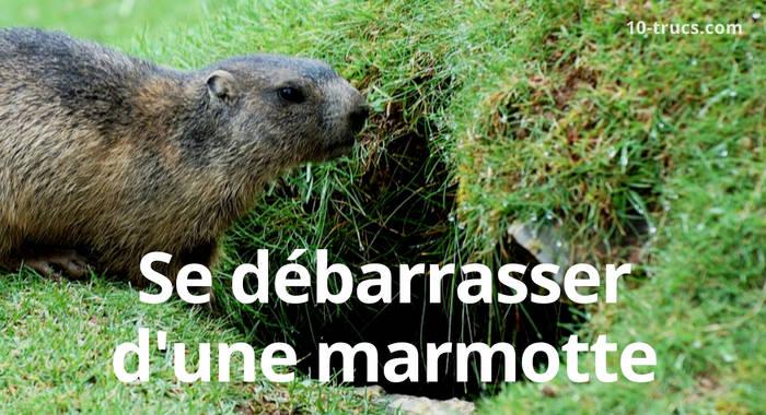 comment se débarrasser d'une marmotte