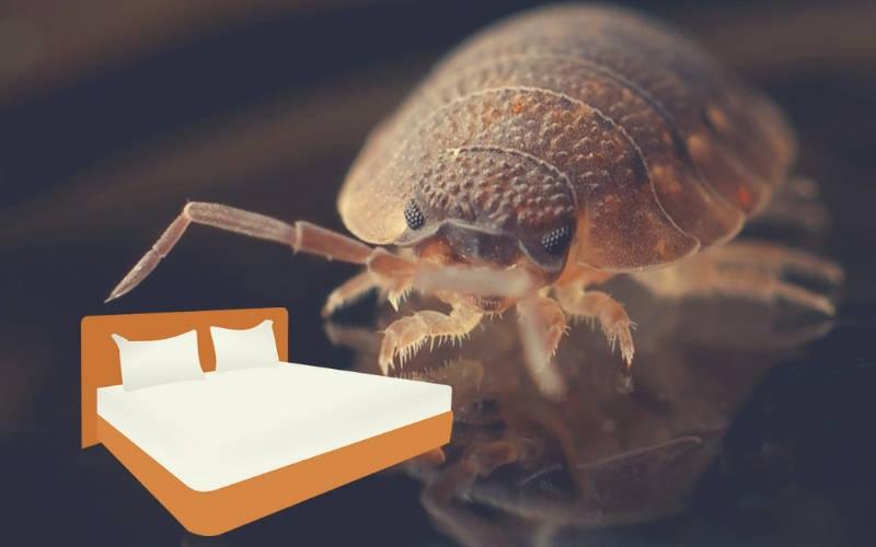 Comment soigner les morsures de punaise de lit?