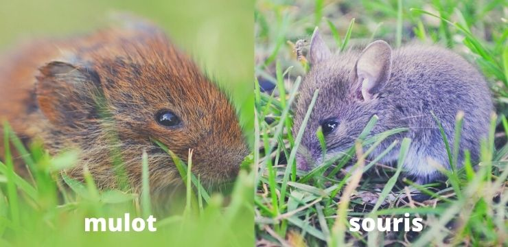 Différence entre une souris et un mulot