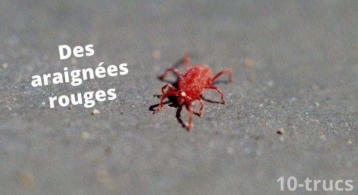 se débarrasser des araignées rouges dans une maison