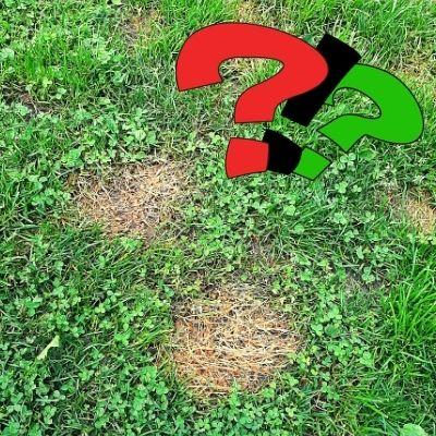 Raison des taches d'urine sur la pelouse